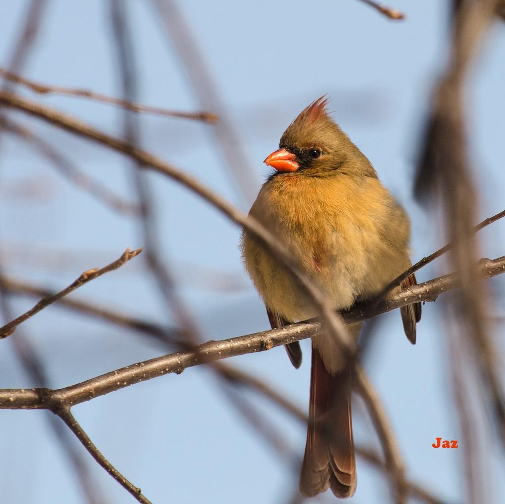 Cardinal femelle
