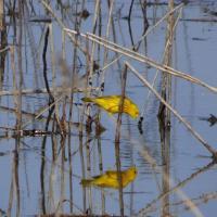 2. Paruline jaune (Photo: Danielle Lalonde)
