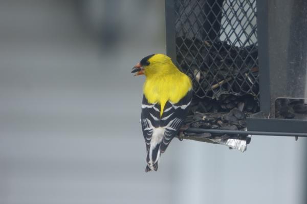 3. Chardonneret jaune (Photo: Danielle Lalonde)