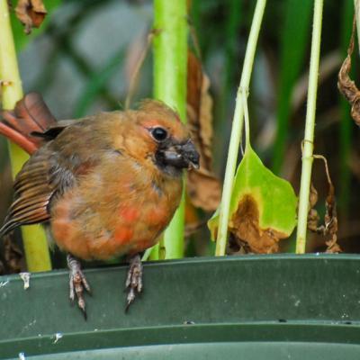 Cardinal adolescent