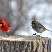 Cardinal rouge & Bruant à gorge blanche