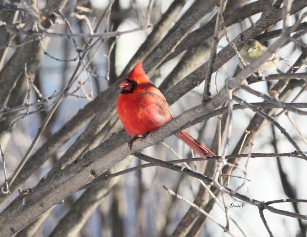 Cardinal chardonneret
