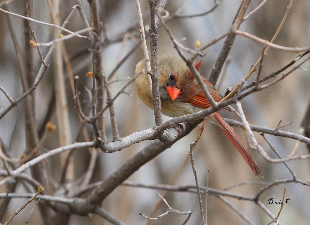 Cardinal ''F''