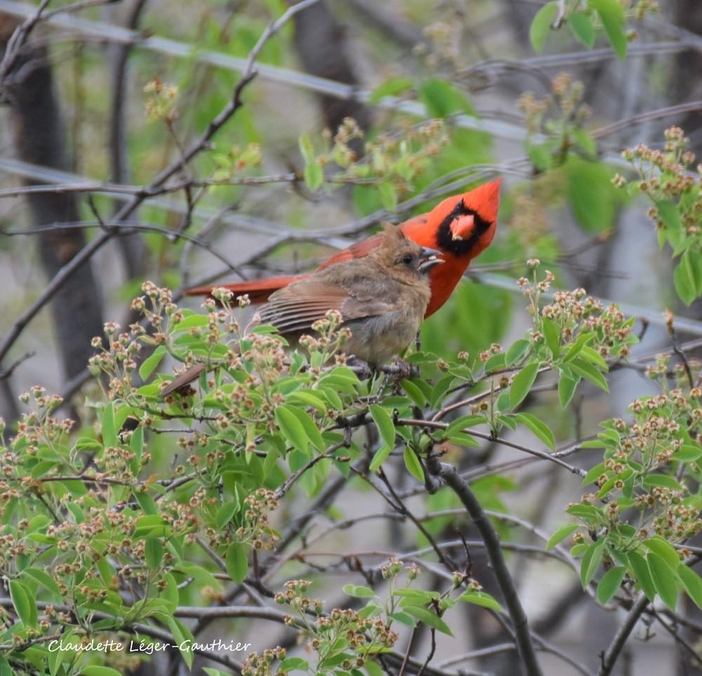 Cardinal & juvénile