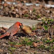 Cardinal rouge M_F