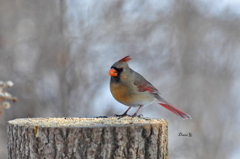 Cardinal r. femelle
