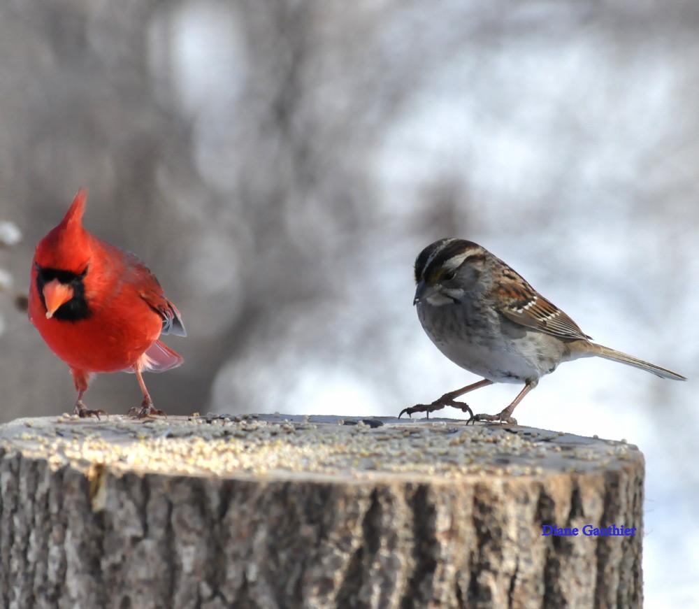Cardinal rouge - Bruant-à-gorge-blanche