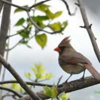 Cardinal rouge 'F '