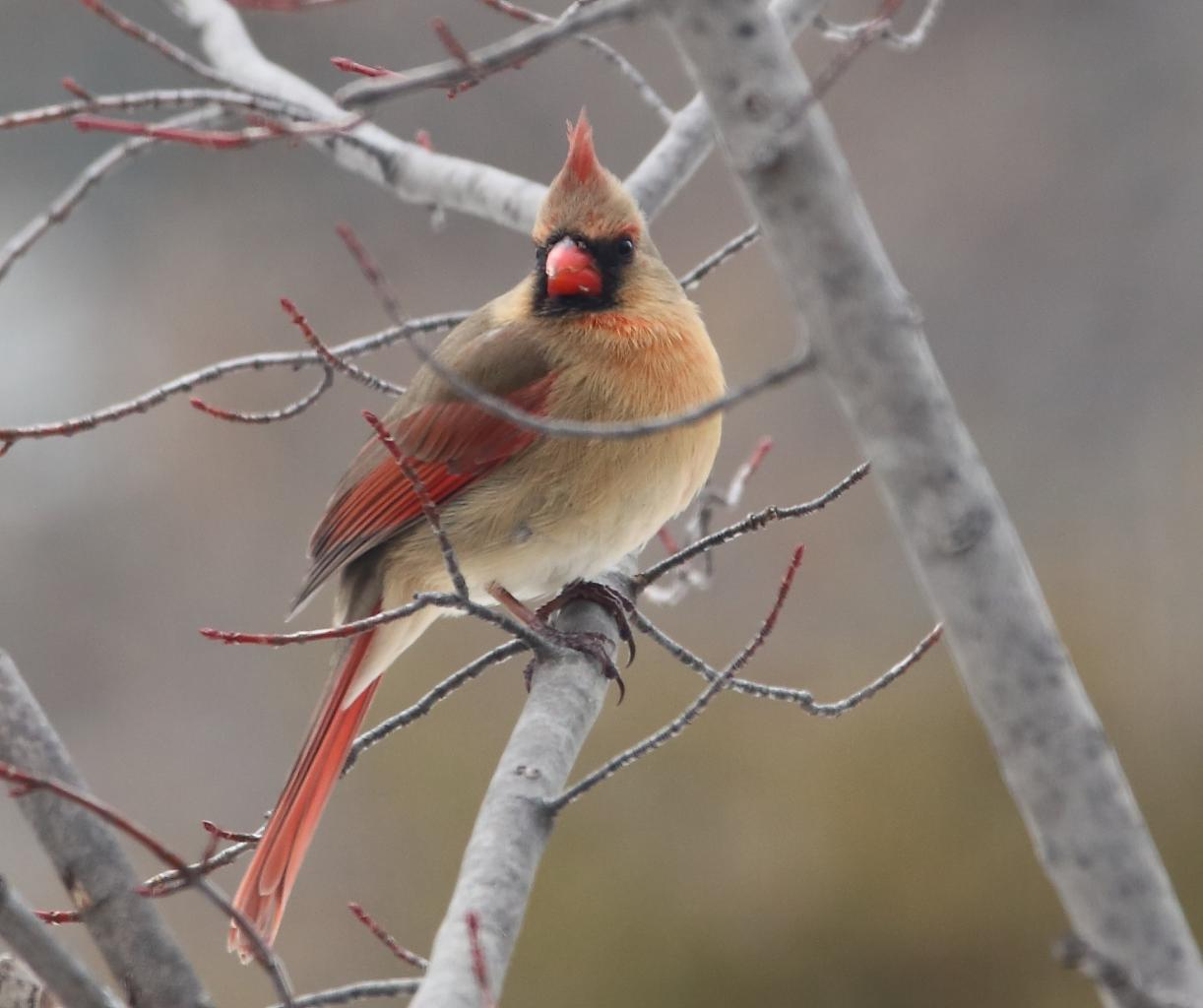 Cardinal rouge    photo Roger Dubois