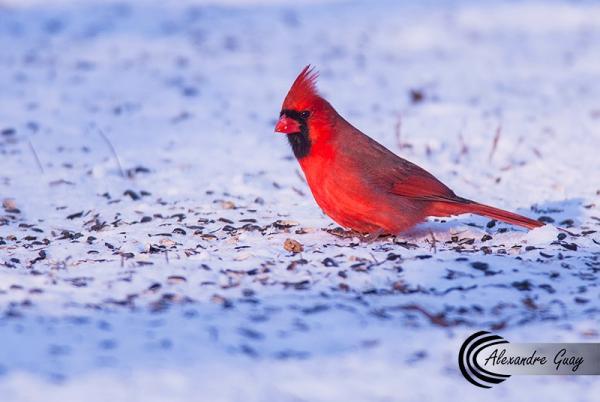 Cardinal rouge mâle