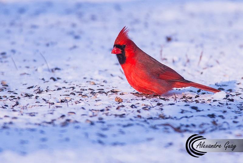 Cardinale rouge mâle