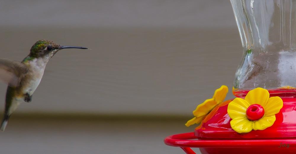 Colibri à gorge rubis femelle