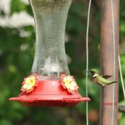 colibri à gorge rubis M