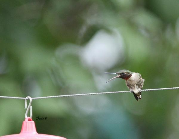 Colibri faché auprès du autre Colibri