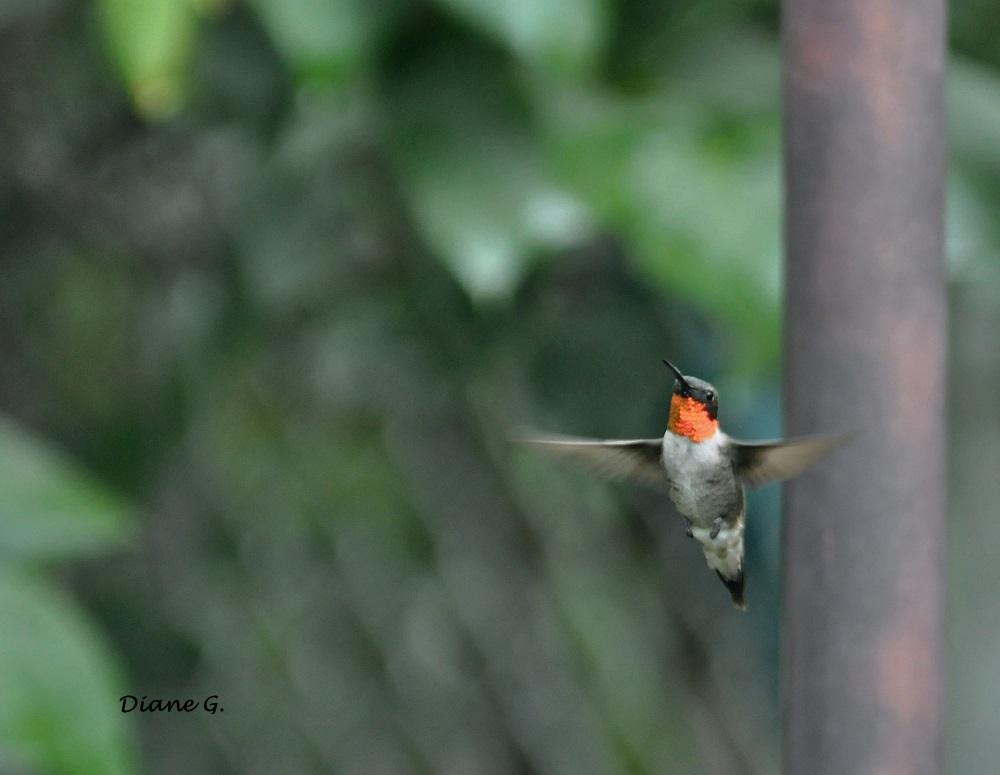 Colibri mâle