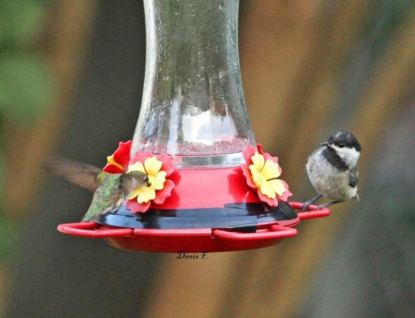 Colibri- Mésange