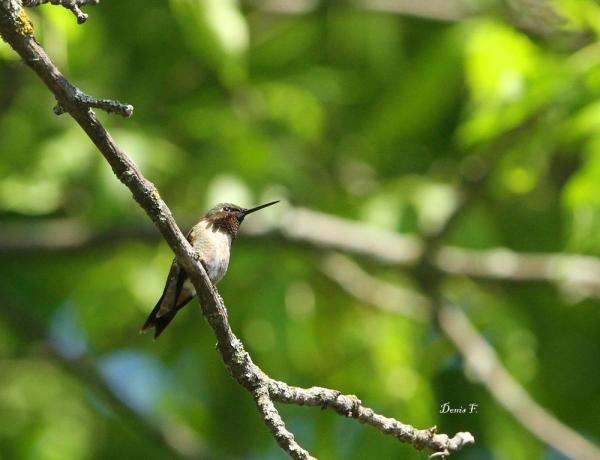 Colibri à gorge rubis
