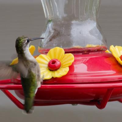 Colibris à gorge rubis femelle