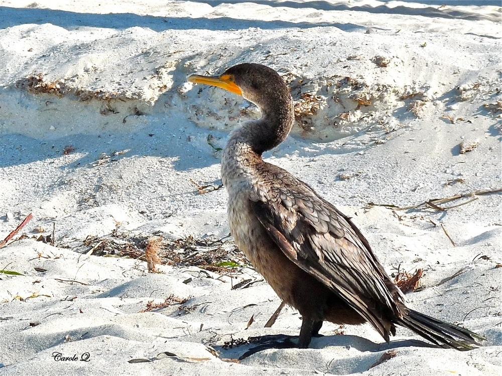 Cormoran à aigrettes immature
