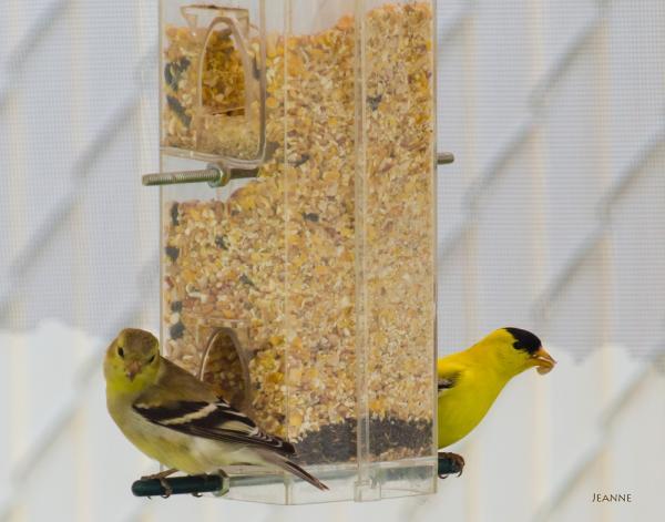 Couple de Chardonneret jaune