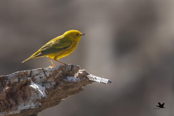 Paruline jaune mâle