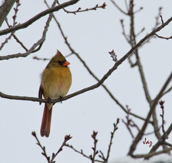 Cardinal rouge femelle