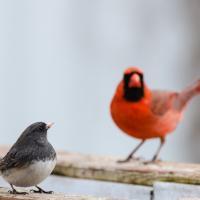 Junco ardoisé Cardinal