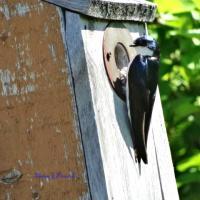 Hirondelle bicolore