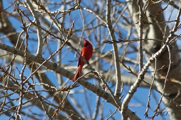 Notre Elvis Cardinal