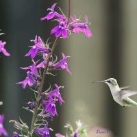 Colibri femelle