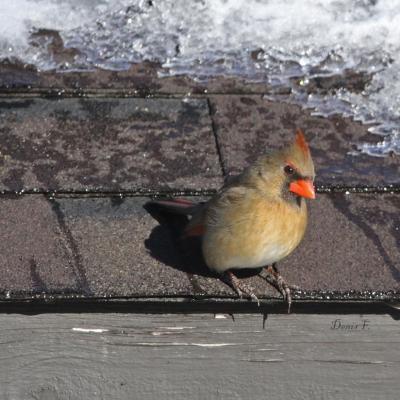 Cardinal rouge/F.