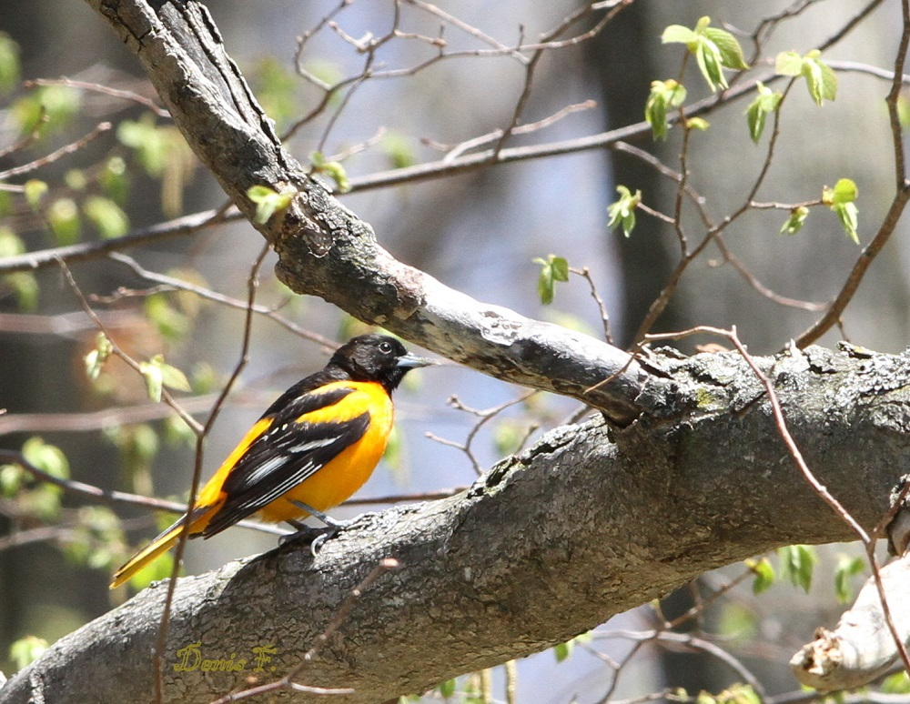 Oriole de Baltimore