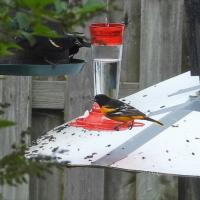Oriole de Baltimore & Carouge à épaulettes (photo: Pierre Gauthier)