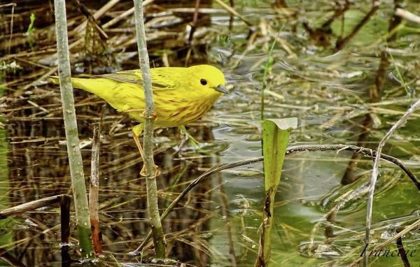 Paruline jaune (photo: Francine Quintal)