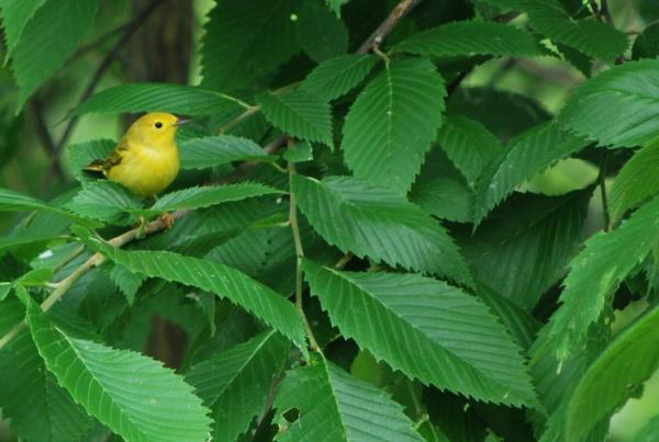 paruline-jaune