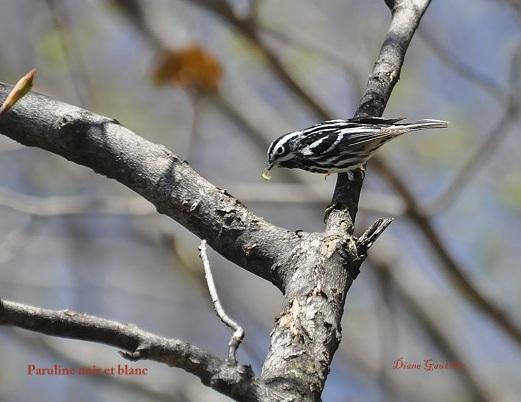 Paruline noir et blanc mâle