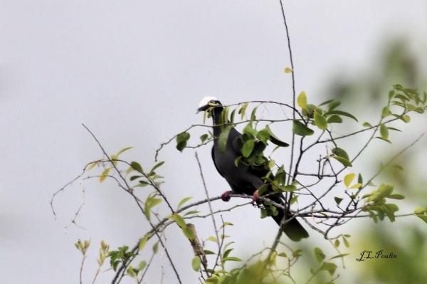 Pigeon à couronne blanche
