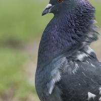 Pigeon Biset en Parade nuptial