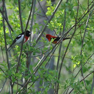 Piranga, Cardinal à poitrine rose