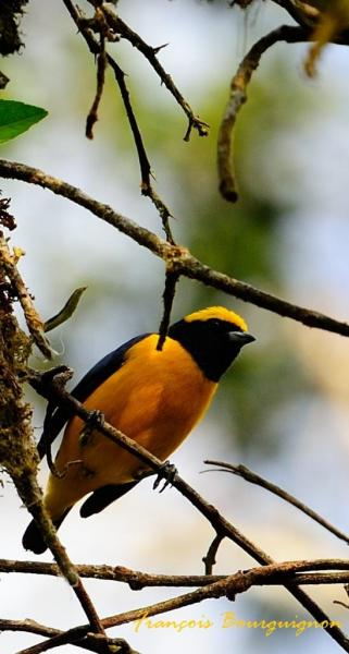 Yellow-Crowned Euphoria oriole