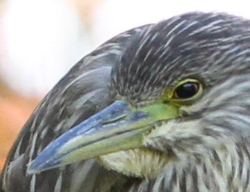 Bihoreau gris juvenile reca