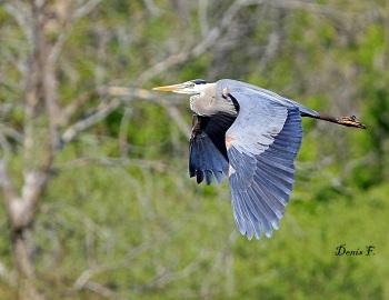 Grand heron 350s