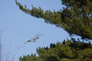 Héron occupé à faire son nid
