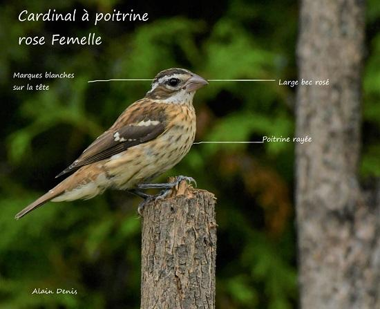 Thumbnail cardinal a poitrine rose 550